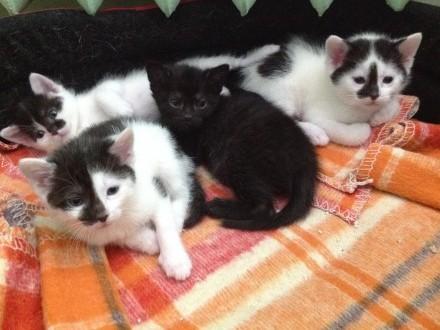 Małe kociaki szukają domów:Czana  Łatek i Łatka