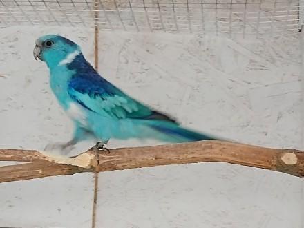 Barnardy niebieskie para