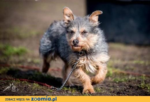 Scooby - pieszczoch z charakterem,  małopolskie Kraków