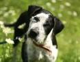 Monir - mieszaniec wyżła, super pies! :)