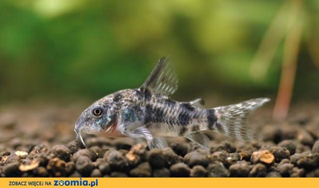 Rybki akwariowe – KIRYSY PSTRE