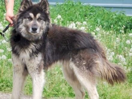 Shadow pies cień alaskan malamute mix owczarek ADOPCJA   Kundelki cała Polska