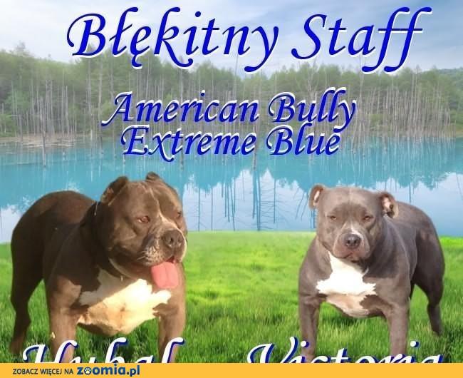 American Bully Extreme szczeniaki BLUE