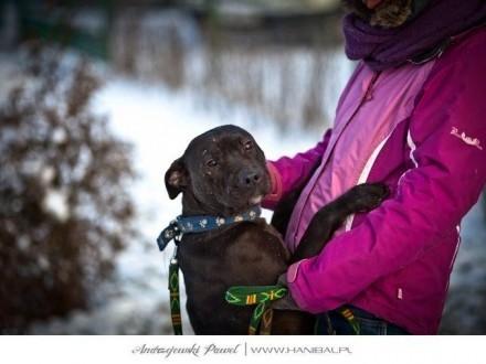 AMA piękna i młoda sunia w typie pitbull szuka domu