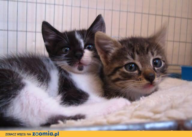 Kocie rodzeństwo do adopcji razem lub osobno