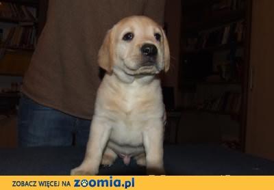 Labrador, Labradory Fantastyczna Linia Genetyczna - Hodowla FCI