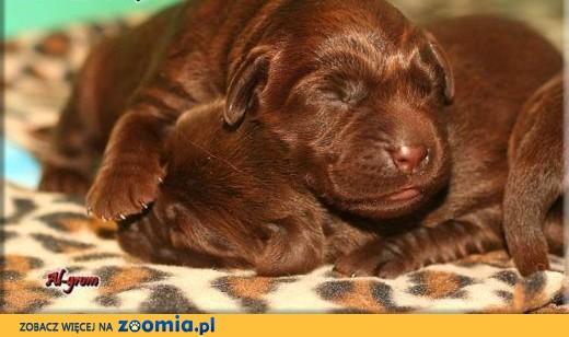 Labrador Retriever czekoladowe i czarne  szczenięta,  Labrador retriever cała Polska