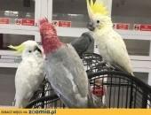 papugi na sprzedaż,  Papugi inne cała Polska