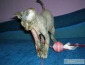 Koteczka Devon Rex już do odbioru