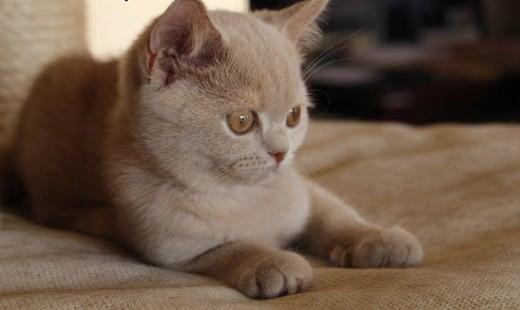 koty brytyjskie rodowód FPL   wielkopolskie Kalisz