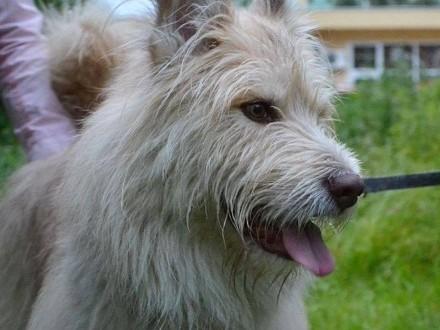 Agat 4-ro letni pies w  typie owczarka pikardyjskiego_