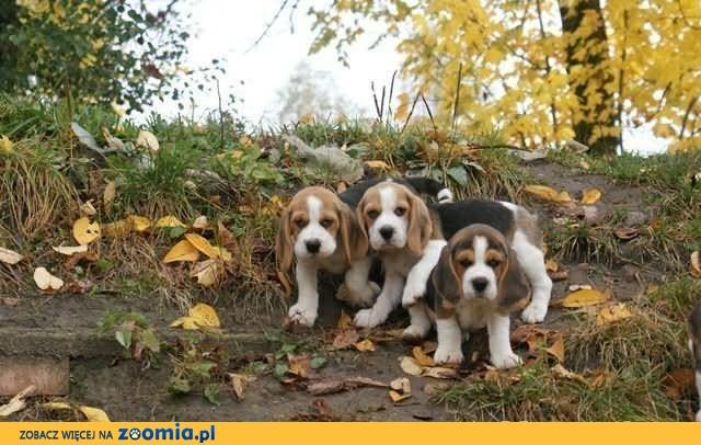 * Szczenięta Beagle tricolor i bicolor po Championach, rodowód ZKWP!