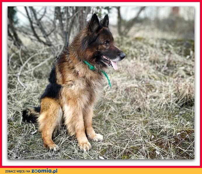 Owczarek niem,kontaktowy,nieufny do obcych,szczepiony pies ZEUS_Adopcja_