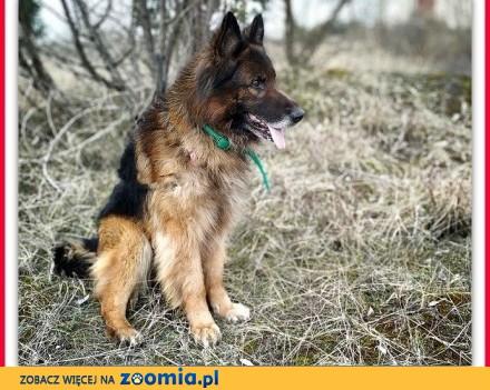 Owczarek niem kontaktowy nieufny do obcych szczepiony pies ZEUS_Adopcja_