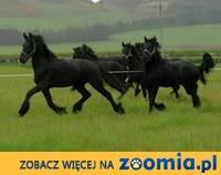 Klacz i ogier fryzyjski konie do adopcji