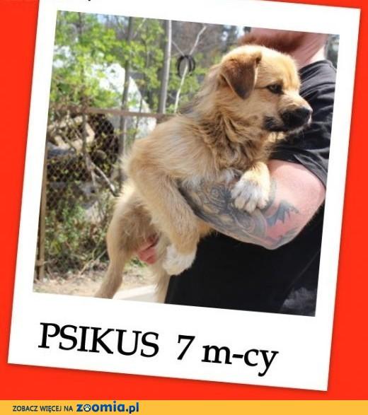 PSIKUS,szczeniak 7-mcy,aktywny,towarzyski,przefajny piesek.Adopcja.,  łódzkie Łódź