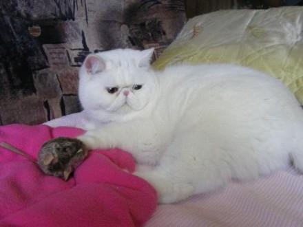 Kocurek egzotyczny biały