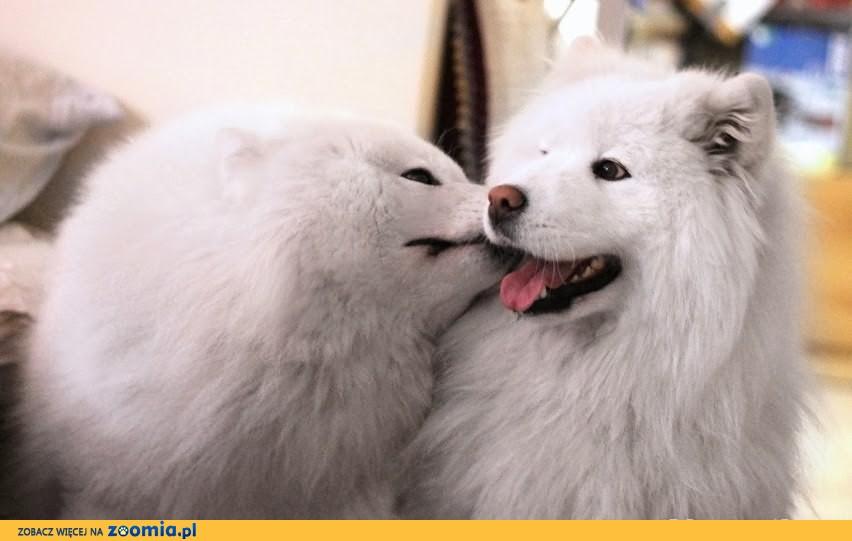 Szczenięta Breed Love Czechy i Siberian Love już są!