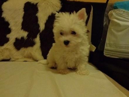 Yorkshire Terrier - White oraz Black Tan