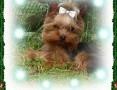 York, yorshire terrier!Krycie!reproduktor-1,20kg--małopolska,  małopolskie Kraków
