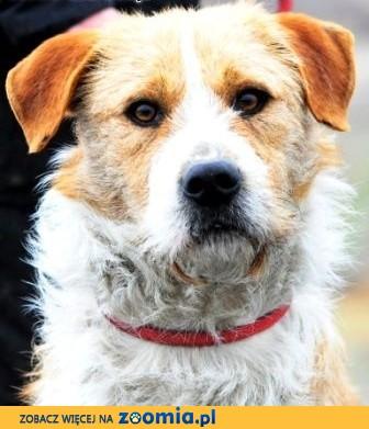 AFGAN-wspaniały i dostojny starszy psiak w typie cane corso szuka domu,  małopolskie Kraków