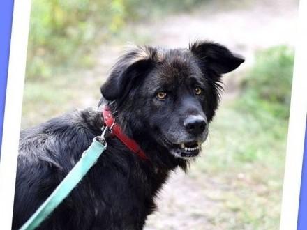 35 kg  4 lata owczarek kaukaski mix  przyjazna suczka KASJA_Adopcja