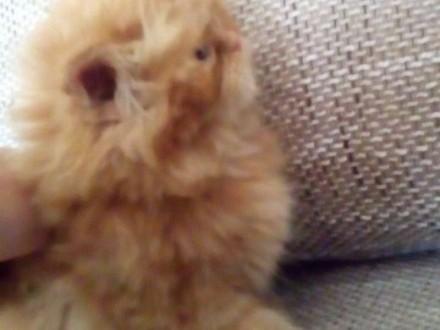 kotki perskie   świętokrzyskie Ostrowiec Świętokrzyski