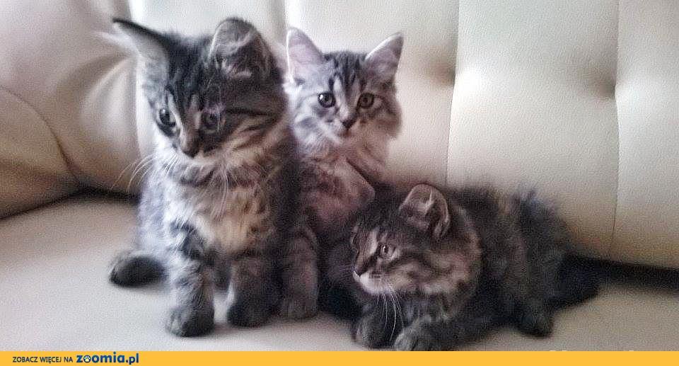 Koty Syberyjskie !