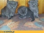 Koty brytyjskie oddam za wyprawkę,  dolnośląskie Złotoryja