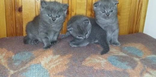 Koty brytyjskie oddam za wyprawkę   dolnośląskie Złotoryja