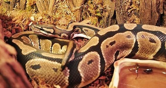 Python regius classic samica sprzedam