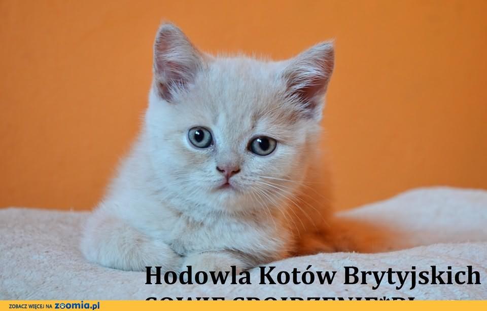 Koty Brytyjskie Krótkowłose, kocurek kremowy FPL              Rodowód