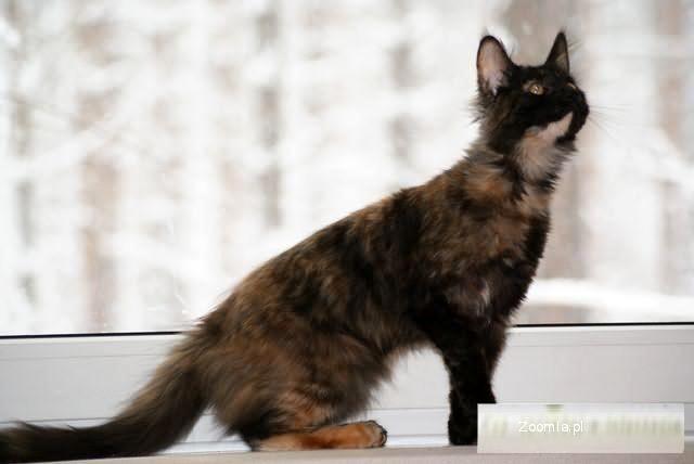 Maine Coon - przecudna koteczka