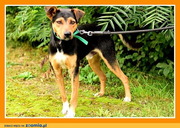 Duży 23 kg,przyjacielski, przytulaśny, towarzyski pies KISIEL_Adopcja
