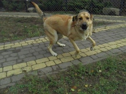 Maciek  duży młody super pies   zachodniopomorskie Szczecin