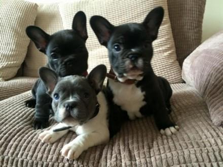 Gorgeous francuski szczenięta Psy i samice szukające nowego domu_