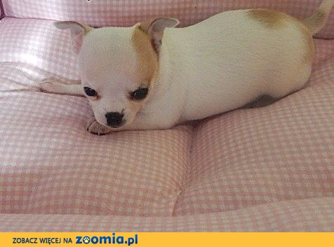 Chihuahua słodka suczka,  dolnośląskie Wrocław