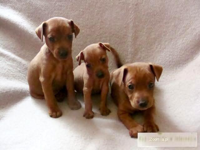 Świeże Pinczerki miniaturowe rodowodowe « Miniature Pinscher « Dogs BC48