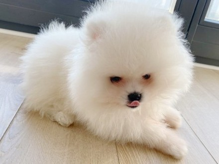 Szpic Miniaturowy Pomeranian Chłopiec FCI