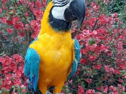 Ara niebieskoskrzydła Oswojona