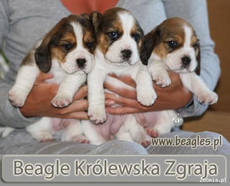 Hodowla beagle Królewska Zgraja - szczenięta beagle