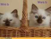 zwierzęta >koty> ragdoll