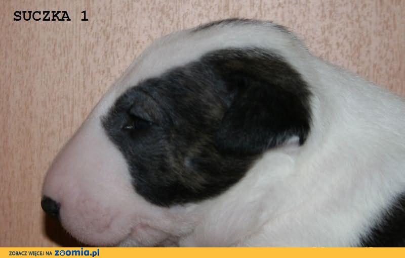 Bulteriery, bullteriery - szczenięta z rodowodem ZKwP (FCI)