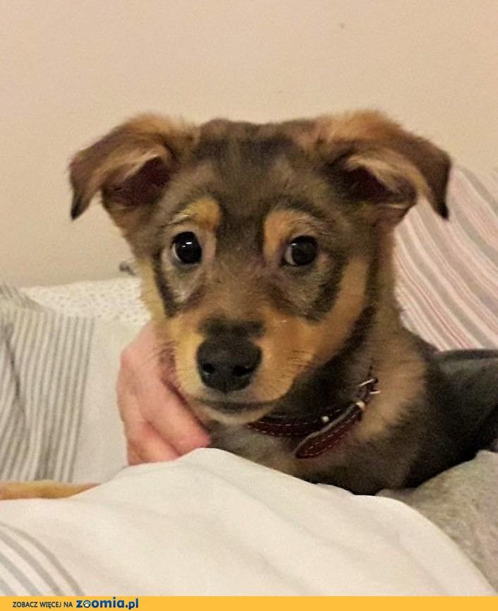 Dropiś - 3,5 miesięczny, śliczny szczeniak do adopcji