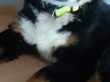 Berneński pies pasterny