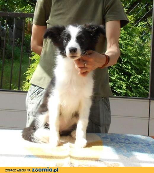 Border Collie - rodowodowy szczeniak,  mazowieckie Otwock