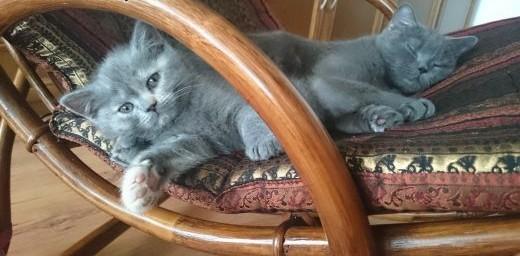 Kot brytyjski dla kochających opiekunów szuka domku   mazowieckie Warszawa