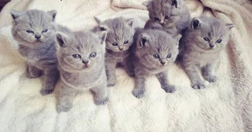 Kot brytyjski niebieski  koty brytyjskie   rodowód  chip   śląskie Bielsko-Biała