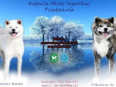 Akita japońska ZKwP/FCI