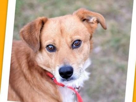 Średni 17 kg, aktywny,przyjacielski,kontaktowy pies MIWEK_Adopcja_